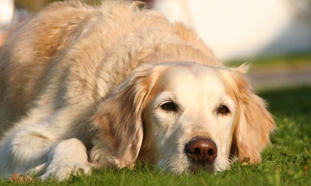 Il naso del cane diventa più leggero: cosa fare?