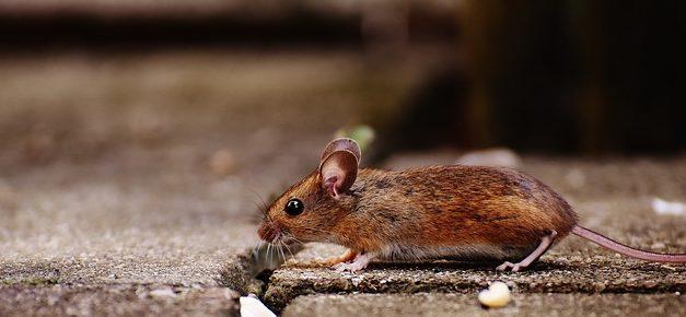 Mantenere i topi come animali da compagnia: come mantenerli in linea con le loro specie