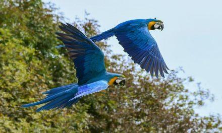 Parrot volò via: cosa fare?