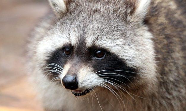 Espellere procione: è così che insegui gli animali lontano dalla tua proprietà