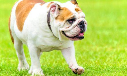 Bulldog inglese come cane da famiglia: la natura e l'atteggiamento del Bulldog