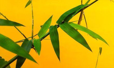 Bamboo diventa giallo: cosa fare?