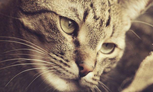 Graffiare la carta da parati del gatto: è così che funziona