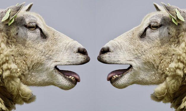 Cosa costa una pecora? Come pianificare correttamente la detenzione degli animali