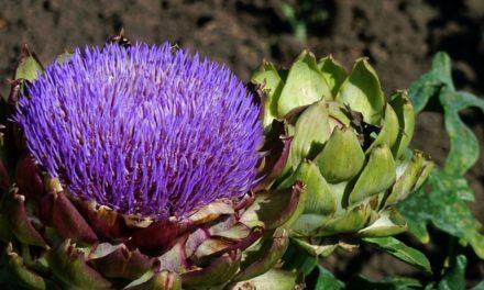 Fiore di carciofo: una decorazione colorata