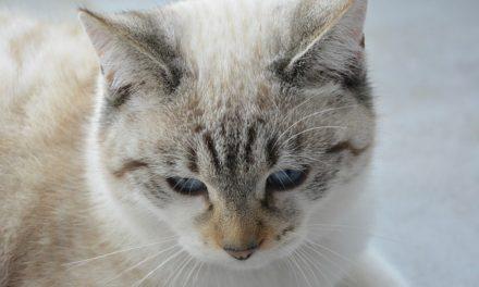 Orecchie fredde nei gatti: come interpretare correttamente i sintomi
