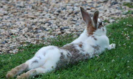 Conigli e la loro durata di vita: fatti interessanti sulle lepri
