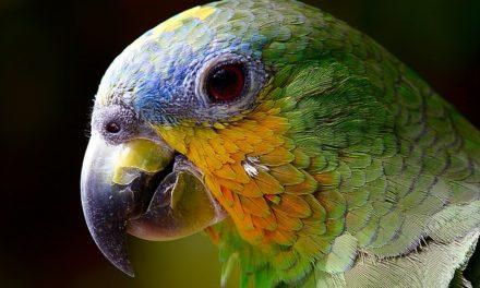 Ara: Tenere a casa un pappagallo