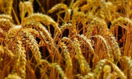 Germinare i semi di grano: ecco come funziona