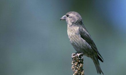 Pettine di osso del petto agli uccelli