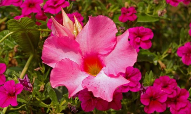 Dipladenia Sundaville Rosso multiplo