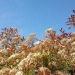 Robin fotinia rosso fotinia: Glanzmispel correttamente mantenuto
