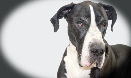 Calvizie nel manto di un cane: cosa fare?