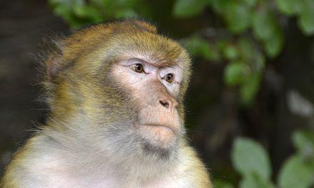 Mantenere le scimmie come animali da compagnia: come renderle adatte alla specie