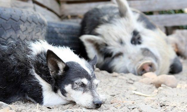 Alimentazione del cane con carne di maiale: rischi