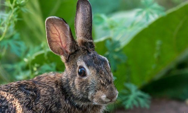 Conigli selvatici in giardino: quello che si deve notare