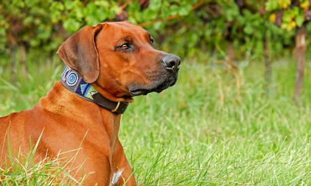 Rare di cani intelligenti: come mantenere i collie di confine giusti