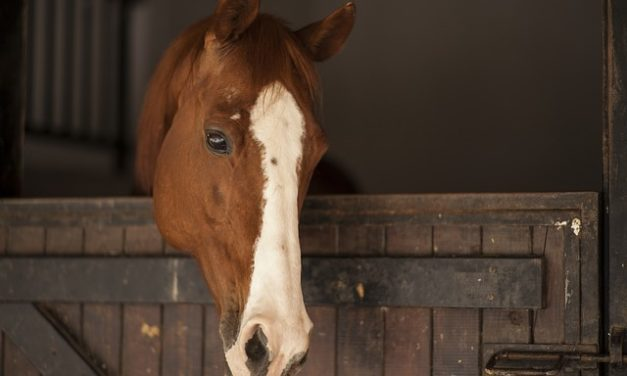 Cavalli Percheron in vendita: Riferimenti: Riferimenti