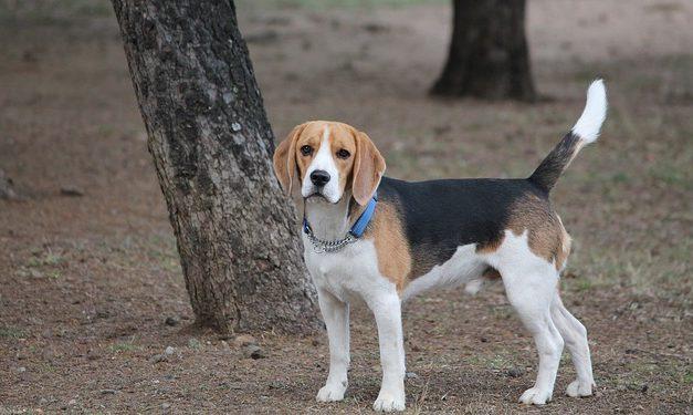 Hobby del Beagle: è così che funziona con la postura