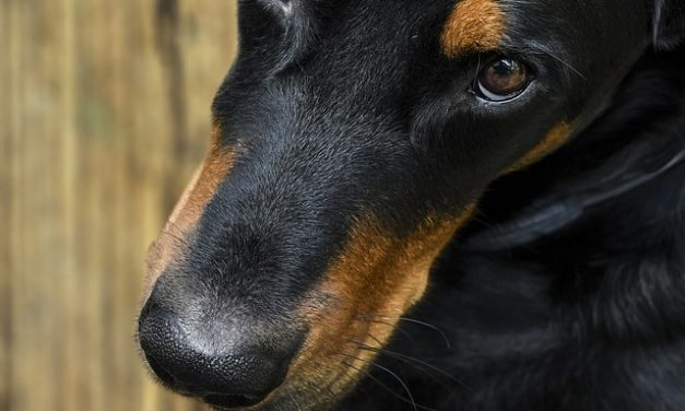 Aumento dell'acido urico nei cani: causa e cosa si può fare