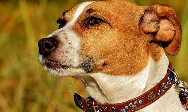 Jack Russell Terrier: svolgere l'istruzione professionalmente