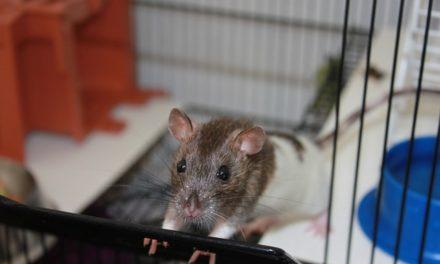 Pulizia gabbie di ratti: ecco come funziona