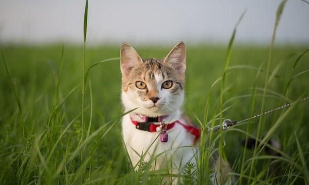 Abituarsi ai tuoi gatti per guinzagliare: è così che il tuo gatto di casa si abitua all'aria fresca