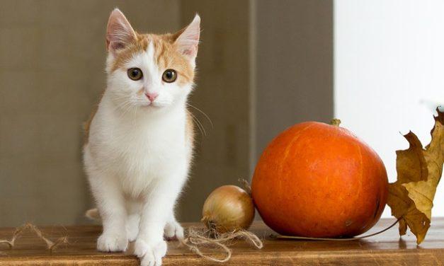 Cat corre selvaggio attraverso l'appartamento: cosa fare?