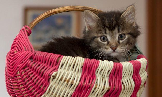 Dolore al ventre nei gatti: è così che puoi aiutare il tuo animale domestico