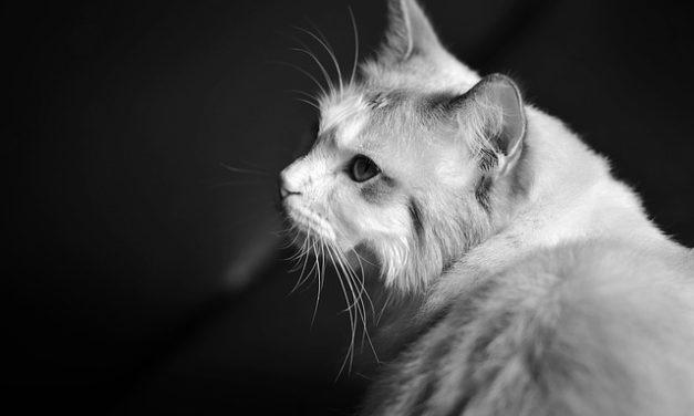 Gatto gatto morso al collo: Spiegazione del comportamento