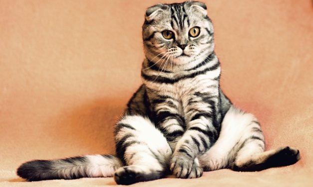 Gatto con chip: come registrare il tuo animale domestico