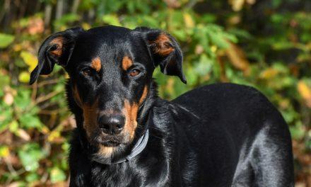 I cuccioli di Magyar-Vizsla li tengono adatti alle loro specie: ciò che si dovrebbe considerare con la razza cane