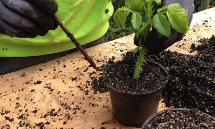 Moltiplicare le piante spesse foglia piuttosto che le talee