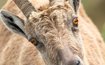 Allevamento di capre in giardino: come tenere le capre in giardino