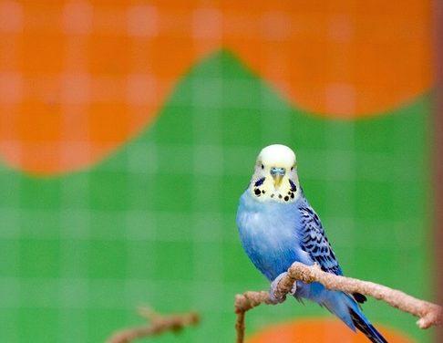 Domesticare il pappagallo: Come vincere la sua fiducia