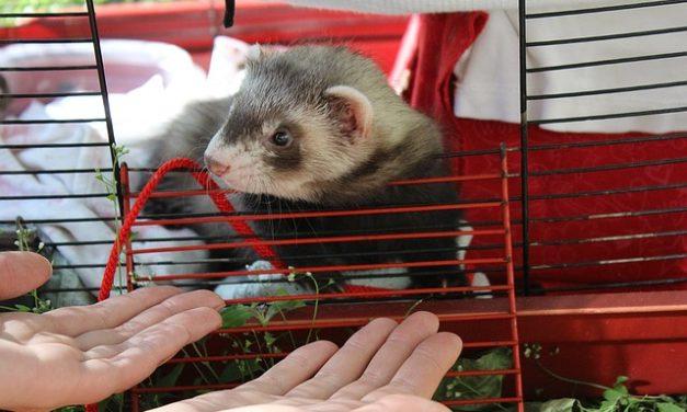 Ferret gabbia: come costruire un alloggio adatto alle specie