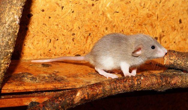 Ratti e loro comportamento: fatti che vale la pena conoscere sul comportamento alimentare