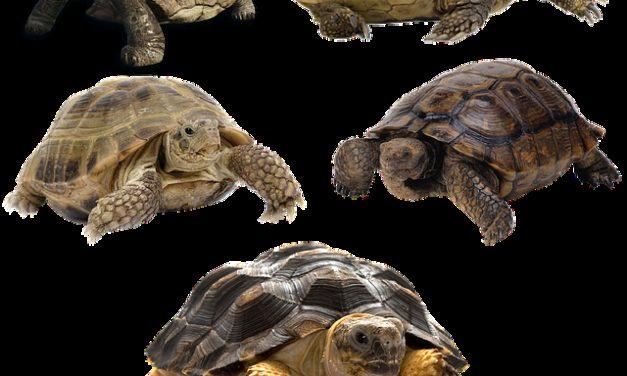 Tartaruga gialla-cercata: Suggerimenti per mantenere
