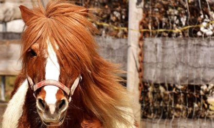 Foro di cavallo piccolo: preparazione corretta della teoria