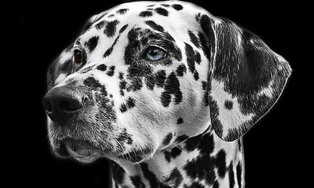 Cane ha un orecchio bagnato: cosa fare?
