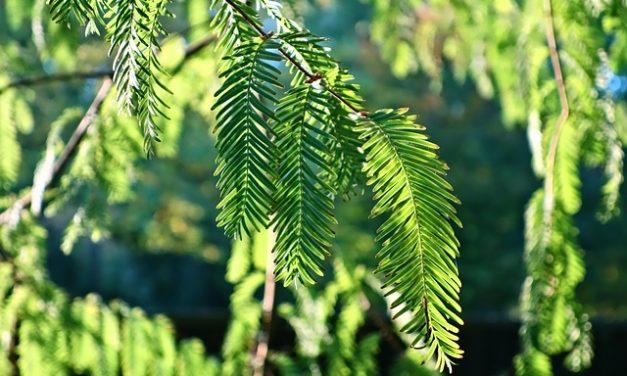 Le conifere diventano marroni: cosa fare?