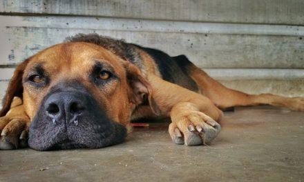 Vespa morso con il cane: trattare correttamente la zampa