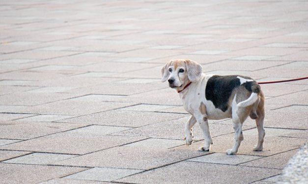 Blocchi della spina dorsale nel cane: questo è ciò che viene compreso da esso