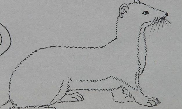 Mantenere il ermellino come animale domestico: è così che l'animale si sente a casa