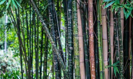 Quanto velocemente cresce il bambù? Cosa dovresti sapere