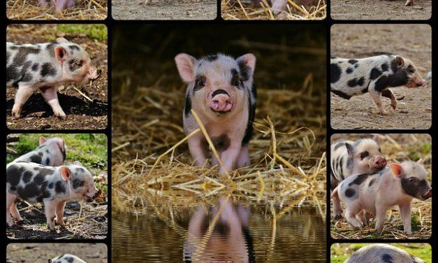 L'allevamento di mini maiali mini specie: ecco come funziona