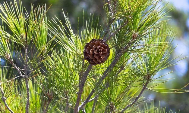Riproduzione di conifere: come far funzionare il sistema