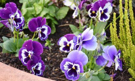 Semina e coltiva le piantine colombine: ecco come si ottiene perenni forti