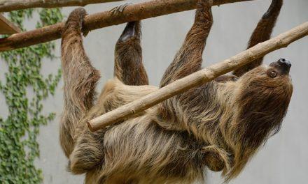 Mantenere un bradipo come animale domestico: ricordatevi di questo