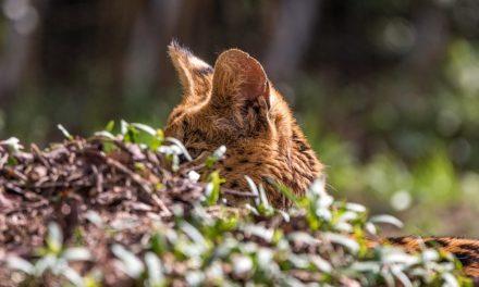 Mantenere un gatto servalo come animale domestico – cosa è importante?